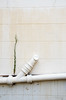 Growing (Lauren Barkume) Tags: africa plants white wall southafrica peeling pipe photowalk artdeco leak cracked johannesburg joburg 2012 gauteng johanesburg eastrand photowalkers laurenbarkume gettyimagesmeandafrica1