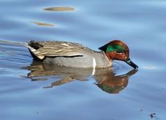 Green-winged Teal (male) (linda long) Tags: nature birds wildlife ducks avian teals
