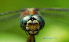 coming in for a landing-dragonfly! (glasskunstler) Tags: nikon 60mmmacro macrodragonflyinsectfaceeyelashesmouthbokehpersonalportraiteyes hairsnaturepondgarden