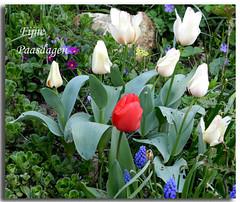Have a happy Easter - Joyeuse fte de Pques (~~Nelly~~) Tags: flowers fleurs bloemen
