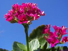 Kalanchoe (Little Grey) Tags: flowers flower flora niceshot kalanchoe musictomyeyes beautifulearth perfectpetals heartawards betterthangood goldstaraward spiritofphotography weloveallflowers