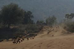 Downhill run (P K Gupta VNS) Tags: cows aasia andhrapradesh papihills flickraward earthasia worldtrekker mothernaturesgreenearth mygearandme blinkagain musictomyeyeslevel1 papikundalu