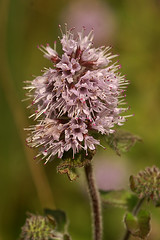 Mentha aquatica - Watermunt (henk.wallays) Tags: mentha aquatica watermunt