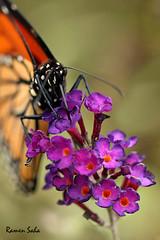 The Purple Consequence (Explored) (Ramen Saha) Tags: flower butterfly butterflybush sentiments monarchbutterfly butterflyonflower danausplexippus buddlejasp ramensaha