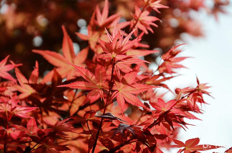竹子湖紅楓12.jpg