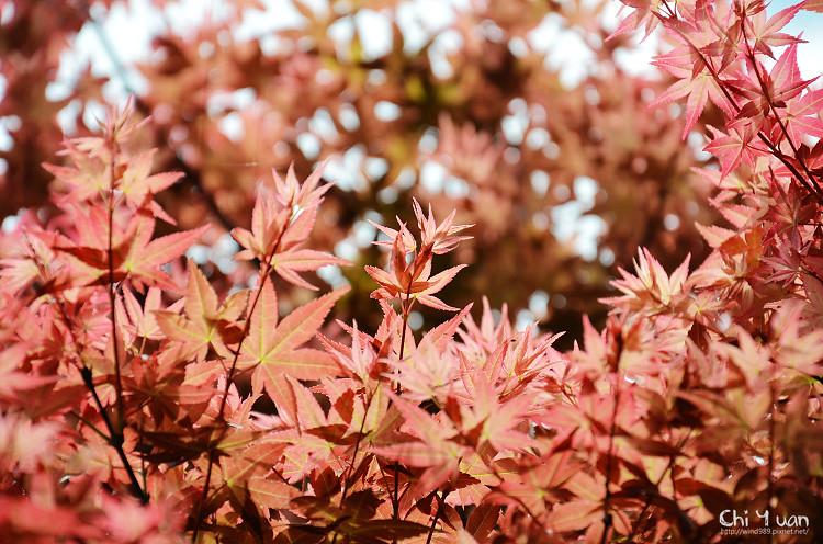 竹子湖紅楓15.jpg