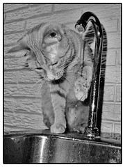Amelia Makes Wet Diamonds, February 24, 2012 (Maggie Osterberg) Tags: bw cat blackwhite nebraska suburban lincoln fujifilm x10 maggieo ameliapond silverefexpro2