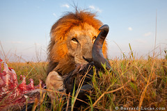 BeetleCam Lion Kill (Burrard-Lucas Wildlife Photography) Tags: lions beetlecam