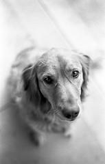 analog276.jpg (seesinb&w) Tags: bw dog film 50mm minolta kodak trix scan 400 epson pushed 1000 x700 f17 v500 acufine lightroom3