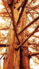 tree (LauraSorrells) Tags: light tree art love sepia dance poem peace god branches grace retreat gratitude rumi monasteryoftheholyspirit nothingisnotyou