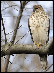 cooper's hawk  (christianhunold) Tags: bird philadelphia hawk raptor juvenile coopershawk fairmountpark accipiter christianhunold