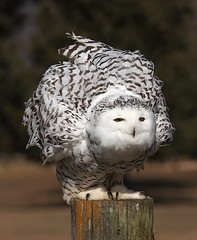 Female Snowy Owl (jimehle58) Tags: