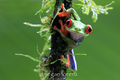 Green (Megan Lorenz) Tags: travel wild macro nature rainforest costarica wildlife frog getty treefrog centralamerica redeyedtreefrog gaudyleaffrog mlorenz meganlorenz photocontesttnc12