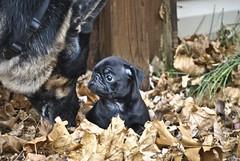 Abbey8 (rdlpix) Tags: dog cute puppy pug pugs blackpug