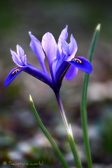 Netzblatt-Iris, Iris reticulata (Seastars world) Tags: iris plant flower nature germany deutschland spring natur pflanze blume botanicgarden kiel springtime frhling irisreticulata kaukasus schwertlilien zwergiris netzblattschwertlilie canon1000d netzblattiris netzschwertlilie neuerbotanischergartenkiel mygearandme mygearandmepremium newbotanicgardenkiel