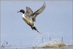 "Pintail Duck (20120312-0716) (Earl Reinink) Tags: ontario canada bird art nature birds photography landscapes duck nikon canadian niagara earl waterfowl bif pintail ""bird ""nikon ""niagara photography"" ""birds ""nature ontario"" ""landscape ""fine duck"" ""earl peninsula"" flight"" lenses"" d3"" d3s"" reinink"" ""pintail"