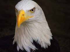 """He Has Spotted Something"" (Galeyo) Tags: love nature birds all wildlife eagles natures wildlfe featheryfriday i allofnatureswildlifelevel1 allofnatureswildlifelevel2"
