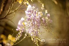 11/52 WISTERIA HYSTERIA (amber {in the shadow of za'ha'dum}) Tags: flowers texture 50mm berkeley bokeh explore canon5d f18 wisteria 2012 50mmf18 1152 wisteriahysteria natureycrap paintthemoonsletsdo52