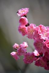 Plum Blossoms (jpellgen) Tags: japan japanese march spring nikon kyoto shrine blossoms plum 京都 nippon kitano nikkor shinto ume kansai nihon 2012 北野天満宮 tenmangu kinki 上京区 kamigyoku d3100