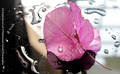 pink leaf (MOHAMMED ALAMRI PHOTOGRAPHY) Tags: pink tree love water leaf drops      pinkleaf