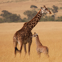 Masai Giraffe #11 (Roantrum) Tags: kenya masaimara giraffacamelopardalistippelskirchi masaigiraffe roantrum