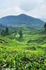 Tea Plantation (2121studio) Tags: nature nikon ali malaysia indah cameronhighlands kuantan alam malaysianphotographer drali sgpalasteaplantation 2121studio kuantanphotographer pahangphotographer ciptaanallahswt 0139342121 nubleebinshamsubahar