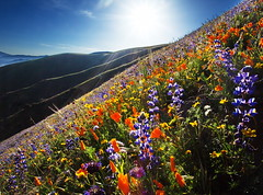 Gorman Mountain Top (DM Weber) Tags: california flowers light canon landscape back poppies lupine gorman eos5dmk2 psa148 dmweber