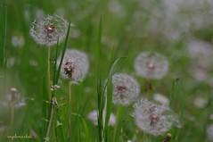 Tarassaco comune (Taraxacum officinale Weber) (Plebejus argus) Tags: italy macro primavera prato asteraceae lazio taraxacumofficinale compositae soffione floradeilepini