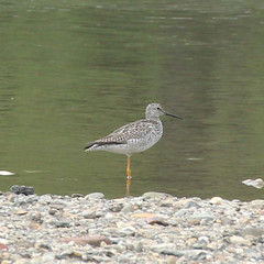 lesser-yellowlegs-IMG_5998-crop (mandovinnie) Tags: