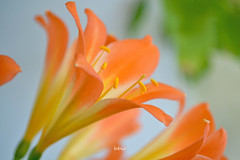 Lily flower (bbic) Tags: flowers orange spring lily crin