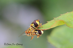 Together (~~ Y.C.CHEN) Tags: light black color green beautiful yellow canon insect bokeh 7d marco