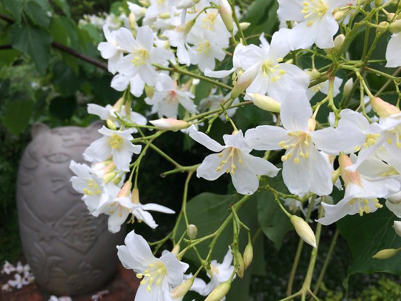 茂盛的桐花