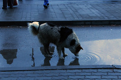 Holy water (dkvelichkova) Tags: city wild dog water puppy big europe sofia drinking bulgaria eastern thirst thirsty