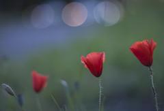 perfect number (marco monetti) Tags: flowers greenleaves bokeh m42 fiori ta carlights macchine fanali foglieverdi fullaperture maximumaperture tuttaapertura vintageprime yashicaautoyashinondx50mmf17 newvintagelenstryout