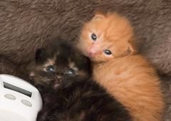 IMG_9487 (jaglazier) Tags: usa cats playing cute animals babies unitedstates tiger may indiana kittens siblings bloomington mammals blackie 2016 52416 copyright2016jamesaglazierandjamesaferguson
