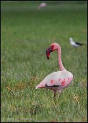 Lesser Flamingos (Phoeniconaias minor) (mihir_dhandha) Tags: wader birdphotography lesserflamingo canonkitlens phoeniconaiasminor canoneos7d canon55250mm