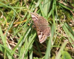 Dingy Skipper - Erynnis tages (jeannie debs) Tags: butterfly explore dingyskipper linnaeus1758 erynnistages