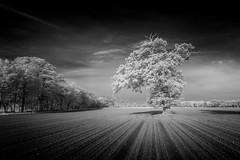Blickling 07/05/2016 (Matthew Dartford) Tags: trees blackandwhite bw tree monochrome lines ir mono branches norfolk infrared trunk eastanglia blickling leadinglines infraredphotography