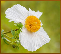 Fried Egg Flower (tdlucas5000) Tags: white flower yellow closeup bokeh egg poppy matilija fried maro sigma105