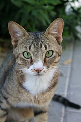 """Serious Face"" (1/2) (Fanniekartika) Tags: morning cute animals cat canon happy eos potrait playful 1100d"