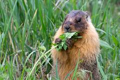Yellow Belly Marmot I (phingular) Tags: yellow bc columbia belly british kamloops marmot