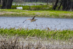 American Bittern (runningman1958) Tags: bird nature nikon 365 americanbittern avian ottawariver 365dayproject d7200 nikond7200