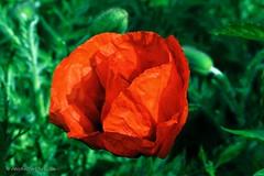 Sleepy Poppy (Michelle Christin) Tags: red sun flower green rot nature outside spring outdoor natur sleepy poppy grn blume blte sonne frhling mohnblume