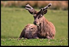 Resting Stag (zweiblumen) Tags: uk nature mammal scotland stag alba wildlife isleofarran hdr reddeer lochranza cervuselaphus northayrshire eileanarainn canoneos50d canon14xextender zweiblumen sigma150500mm lochraonasa