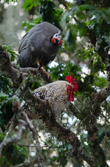 A guinea fowl and a chicken on branches of a brazil wood tree (andreikrepsky) Tags: chicken lookup guineafowl flickrfriday d5100 brazilwoodtree