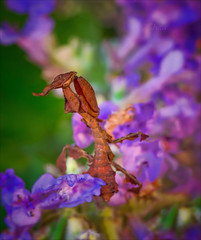 Sunshine on My Shoulders (kathybaca) Tags: world flowers color nature fauna bug mantis insect asian earth wildlife small alien praying insects bugs exotic planet predator preying ghostmantis