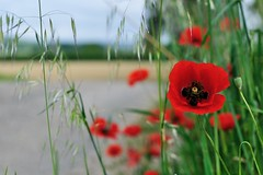 Coquelicots (Martin PEREZ 68) Tags: red color verde green rouge countryside rojo vert poppy campo campagne couleur coquelicot amapola