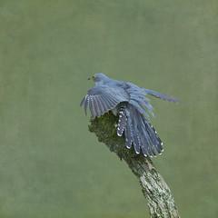 Cuckoo (Margaret S.S) Tags: bird european common cuckoo textured