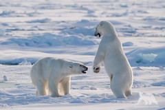 Polar Bears (fascinationwildlife) Tags: bear wild summer male ice nature animal norway mammal wildlife natur north siblings arctic pack polar predator spitsbergen br drift eisbr spitzbergen