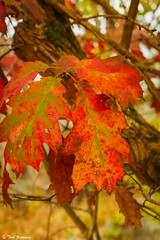Dying oak leaves (Thad Zajdowicz) Tags: autumn red usa plant color colour tree green fall nature leaves digital canon season outside eos leaf oak flora dof bokeh outdoor availablelight maryland depthoffield 7d potomac dslr dying greatfallsnationalpark zajdowicz
